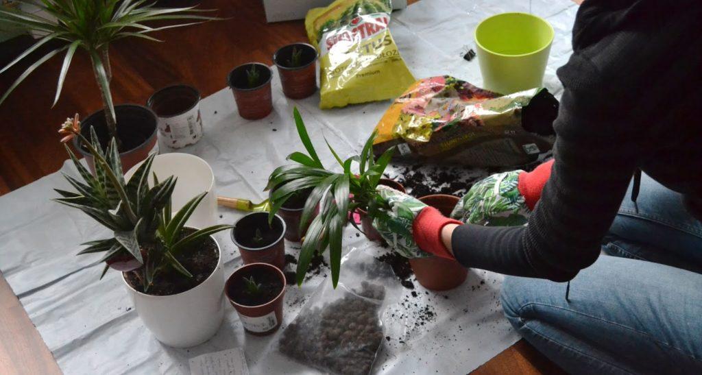 Przesadzanie roślin musi się odbywać bardzo delikatnie
